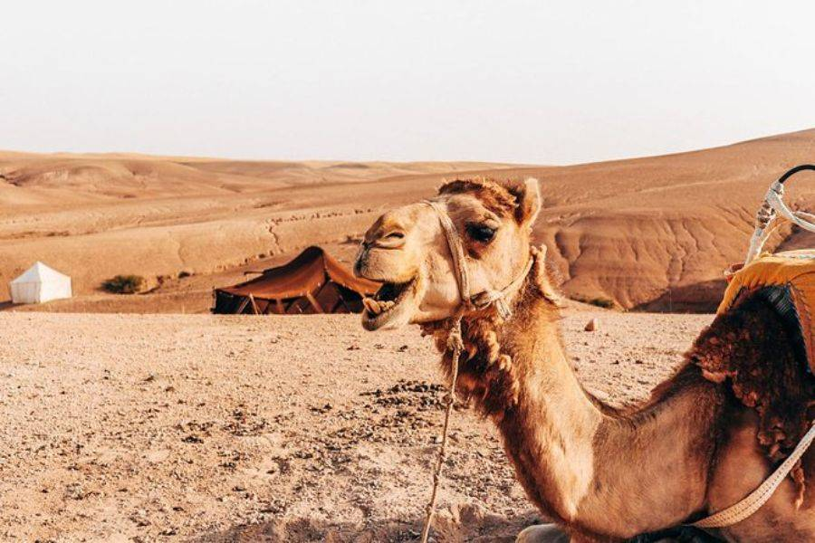 Sunset Camel Ride experience at the Agafay rocky Desert ...